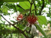 フェイジョアの花