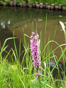 池の淵のミソハギ