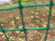 畑の茄子の苗