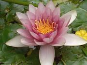 睡蓮の花盛り