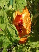 ゴーヤの赤い種