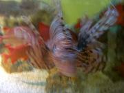 泳ぐミノカサゴ