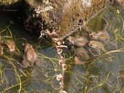 続々産まれた蛙たち