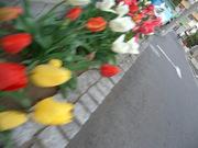 チューリップの咲く道