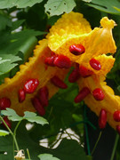 ゴーヤの熟れた種子