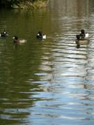 沼の鴨たち