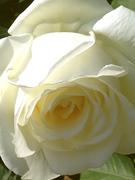 白バラも美しい