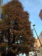 オーナメンテッド街路樹
