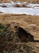 雪解けの畑の猫