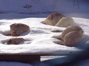 雪に埋まる白菜