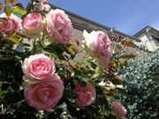 ご近所さんの薔薇