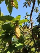 クマシデの果穂