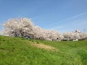 あっというまに満開の桜