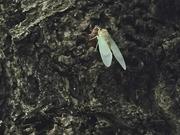 羽化したての蝉