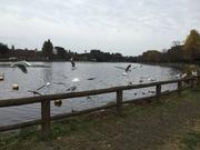池に来る鳥