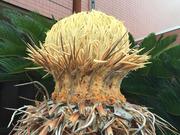 ソテツの花