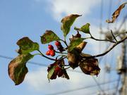 赤い実の花水木