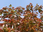 2008年秋の花水木
