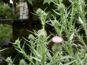空き地に咲いたアザミ