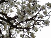 白い空と白木蓮