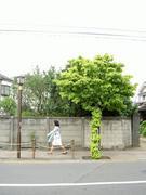 蔦のからまる街路樹