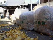 見事な黄葉も終わればゴミ袋行き