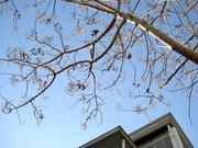 冬空と桐の木