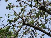 城北公園の桐の花