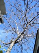 冬の空に枯れ枝を伸ばす桐