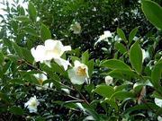 金福寺の山茶花