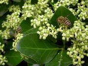 屋上のミツバチ