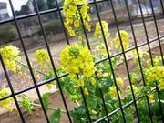 フェンスの菜の花