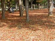 奈良公園の落ち葉