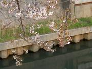 用水路に咲く桜