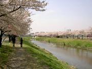 黒目川の桜堤