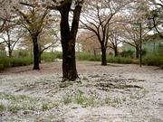 桜の花も終わり