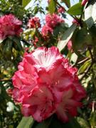 石南花の花