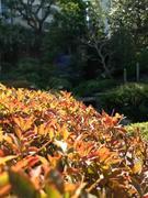 陽に染まる庭木