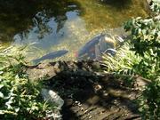 庭園の池の鯉