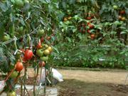 四葉のトマト
