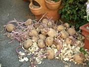 芽が出まくりのジャガイモ