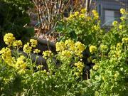 水車公園の菜の花