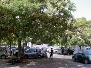 ローマ・テルミニ駅前の合歓の木
