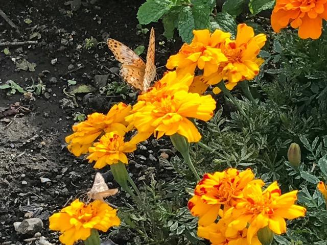 マリーゴールドとタテハ蝶