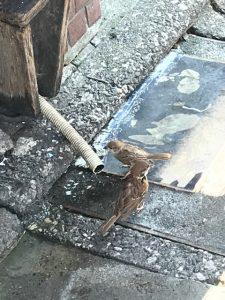 水飲むスズメ