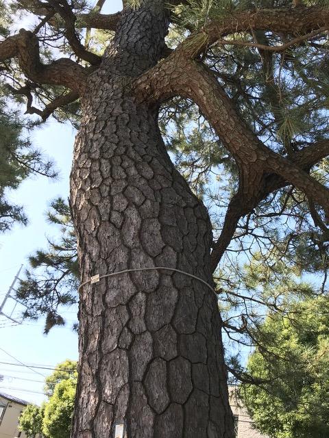 樹齢300年の松