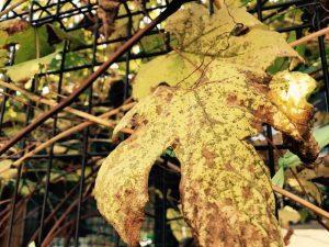 葡萄枯葉はアダムとイヴの替へパンツ