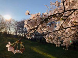 屍体まだ埋もれしままの桜かな