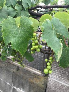 イソップの酸つぱい葡萄かと思ふ