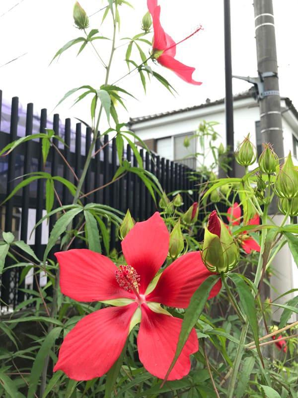 香港の治安気になる紅蜀葵